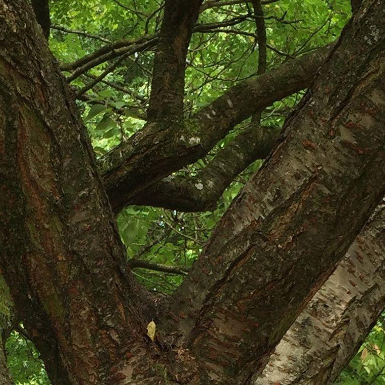 Gemeenteboom zonder boomhut. Beeld