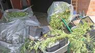 Cannabisplantage in Asse ontmanteld: speurders vatten 33-jarige man