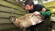 Bewoners vangen verzwakte oehoe met wasmand in tuin in As