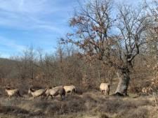 Konikpaarden uit Oostvaardersplassen goed aangekomen in Spanje