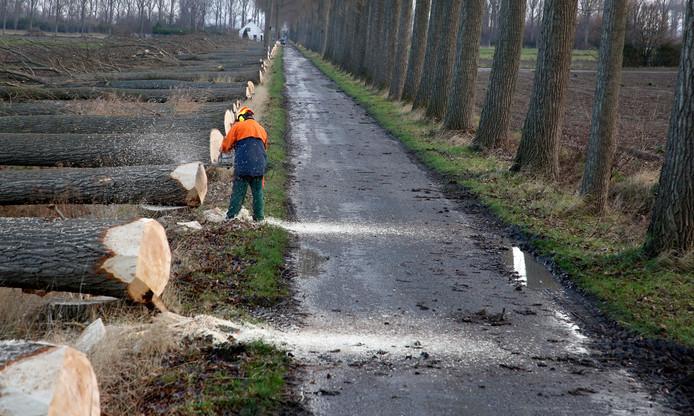 Door de naderende ontpoldering is er geen plaats meer voor 917 bomen in de Hertogin Hedwigepolder. In de Engelbertstraat is nu een begin gemaakt met het rooien van hele rijen populieren.