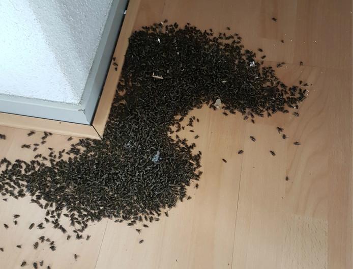 De clustervliegen komen via kieren en naden de huizen binnen.
