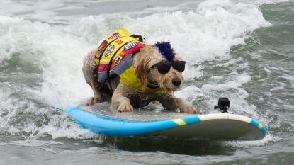 Deze honden kunnen surfen als de beste!