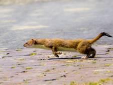 Het gaat niet best met de hermelijn