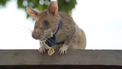 rat-vindt-39-landmijnen-en-krijgt-nu-de-hoogste-dapperheidsonderscheiding