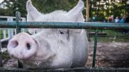 Dertien varkens zakken door stalvloer, helft overleeft het niet