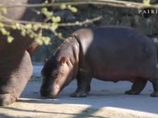 Carnet rose chez les hippopotames de Pairi Daiza