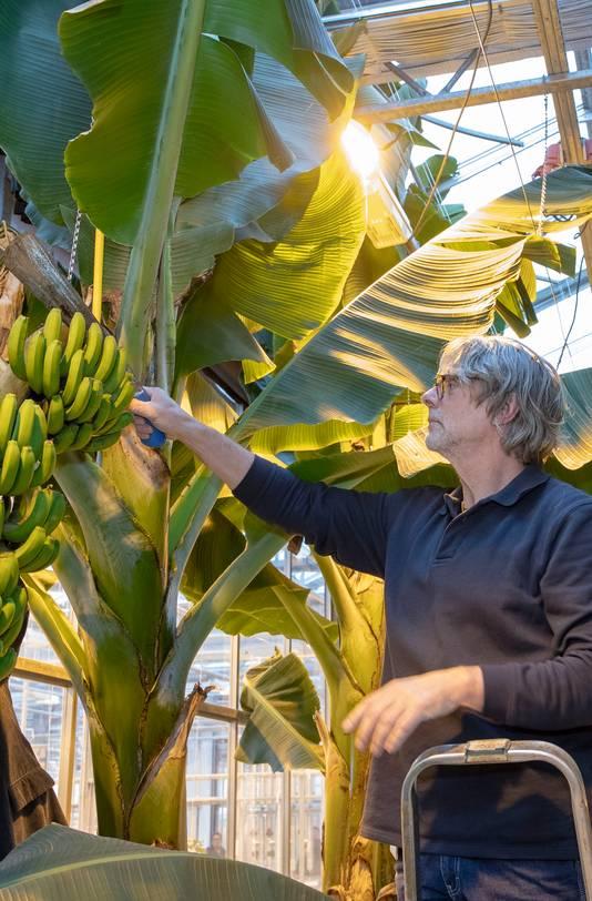 De oogst van de bananen in Wageningen.