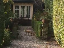 Marga (61) zag op klaarlichte dag een vos bij haar huis: 'Dat je dit overdag zo door je tuin hebt banjeren'
