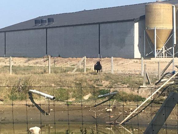 De schapen grazen rond de waterput van het landbouwbedrijf.