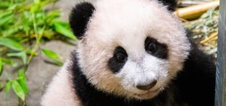 Pandajong Fan Xing binnenkort voor bezoekers Ouwehands te bewonderen