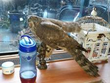 Havik gered van groep kraaien op Katendrecht