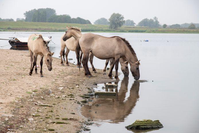 Konikpaarden drinken uit het Grindgat bij Weurt waar botulisme en blauwalg aanwezig is.