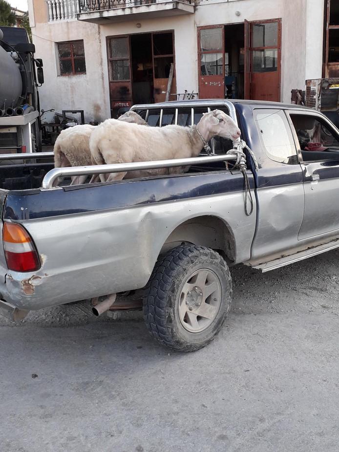 Vooruit met de geit. Deze geiten op het Griekse eiland Zakynthos gingen een dagje op stap. Lekker decadent in de cabrio.
