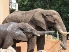 Olifantenkalfje verwacht in Ouwehands Dierenpark: Duna, die vorige jong doodde, is weer zwanger