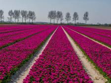 Tulpen staan prachtig in bloei, 'maar blijf er alsjeblieft weg'