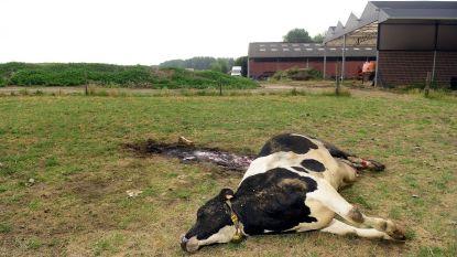 DNA-analyse wijst uit: wolf doodde koe in Berlaar