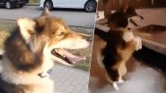 Huppelende hond raakt teveel aan energie op kostelijke manier kwijt
