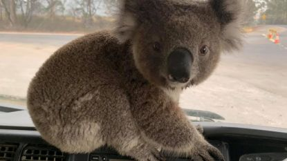 Van miljardair die miljoenen stort tot trucker die koala redt: iedereen doet wat ie kan in Australië om te helpen