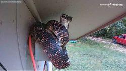 Beveiligingscamera legt vast hoe slang vogelnest aanvalt
