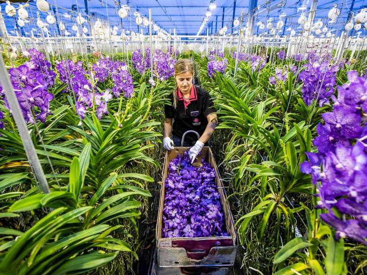 Rijkste man van India koopt 120.000 orchideeën uit Wateringen