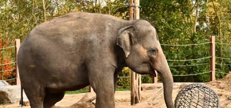 Grootste olifantenkudde van Europa breidt uit: Babyolifantje op komst
