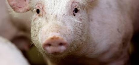 Oppositie Twenterand hekelt houding over 'megagrote varkensfokkerij'