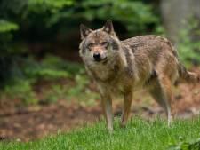 Schokkende beelden: 'gestoorde' wolf richt slachting aan in Culemborgse schaapskudde