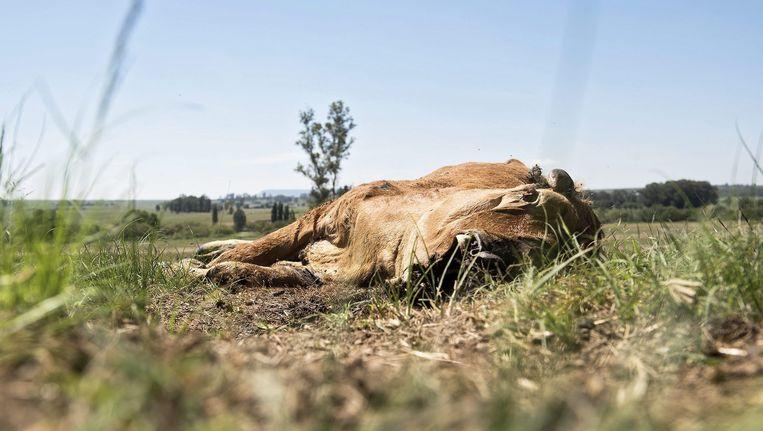 Een koe is gestorven door uitdroging in Zuid-Afrika. Zelden was het zo droog in het gebied als nu. Beeld epa