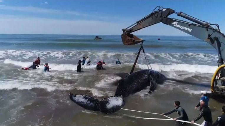 De gestrande bultrugwalvis is na een reddingsactie van twee dagen terug in zee geraakt.