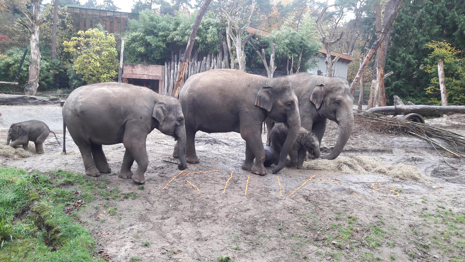 Olifant Kina Viert Verjaardag In Dierenpark Amersfoort Foto Ad Nl