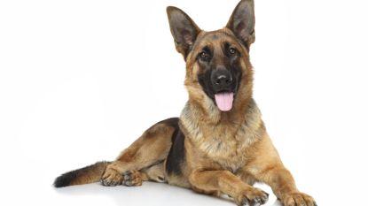 Zonhovenaar (51) bedreigt politie met herdershonden
