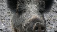 Eén everzwijn gedood tijdens drukjacht op Grote Heide