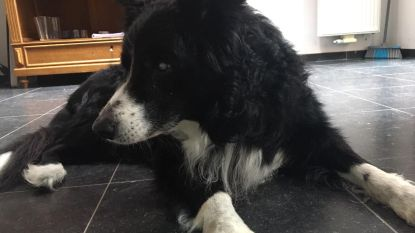 """Baasje van blinde hond Ginko overleden aan corona, nu zoekt beestje nieuwe thuis: """"Hij is een grote knuffelaar"""""""