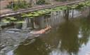 Een ree zwemt door de grachten van Gouda