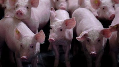 Al 13 landen schorten gedeeltelijk invoer Belgisch varkensvlees op wegens Afrikaanse varkenspest
