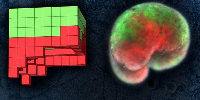Links de blauwdruk van de supercomputer, rechts het organisme dat gemaakt werd uit huidcellen (groen) en hartcellen (rood) van kikkers.