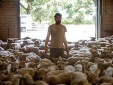 250 heideschapen gaan op tournee door regio Zuidoost-Brabant