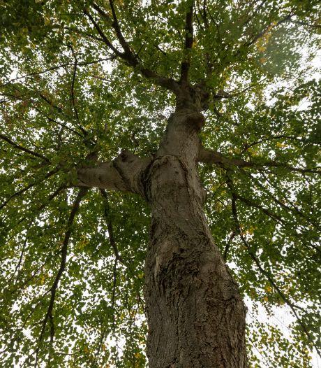 Beeldbepalende lanen in Zutphen veranderen, oude bomen maken plaats voor tonnen kostende nieuwe
