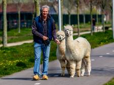 Ambachtse alpaca's Ohio en Kwint stelen de show: 'Ze zijn poeslief'