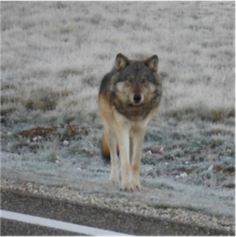 Al enkele decennia was geen enkele grijze wolf meer gezien in de buurt van de Grand Canyon.