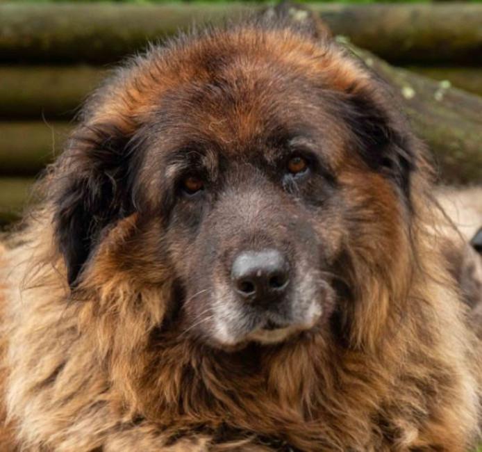 Een Cao da Serra da Estrella. De hond op de foto is niet de hond uit het verhaal.