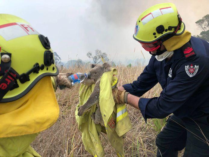 Brandweerlieden redden een koala van het vuur.