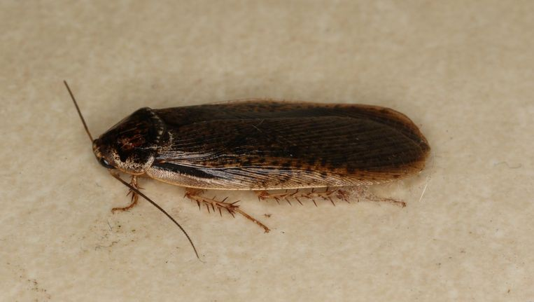 Kakkerlak (niet de Diploptera punctate). Beeld Wikicommons