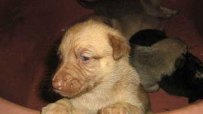 Broodfokker die duizenden honden verwaarloosde, riskeert maximumstraf