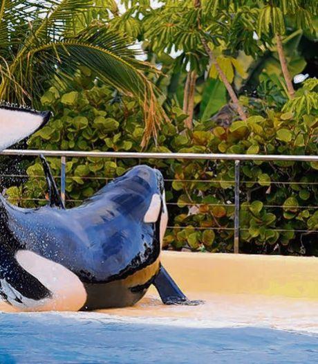 'Hollandse' orka Morgan krijgt eind van deze zomer haar baby