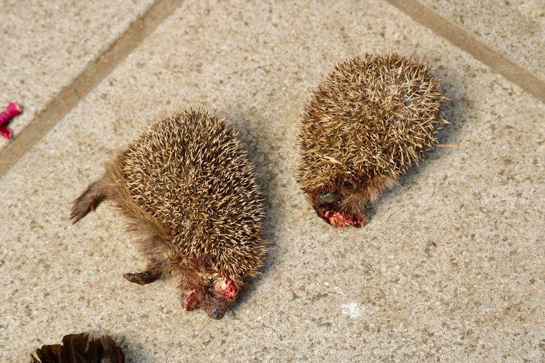De daders brachten ook twee verminkte egels mee om achter te laten in de tuin van de buren.
