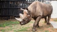 Vijf nieuwe zwarte neushoorns moeten neushoornpopulatie in Rwanda opkrikken