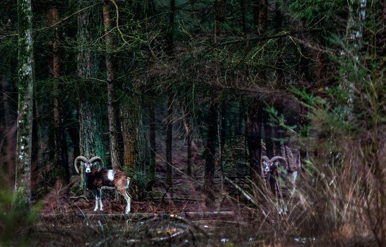 Moeflonrammen in de bossen van Park de Hoge Veluwe. Beeld Raymond Rutting