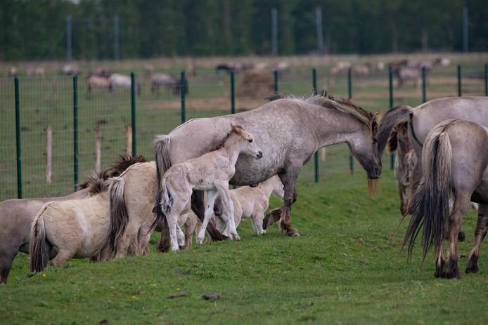 Konikpaarden in de Oostvaardersplassen.